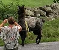 Llama jumps electric fence to protect ducks from bear