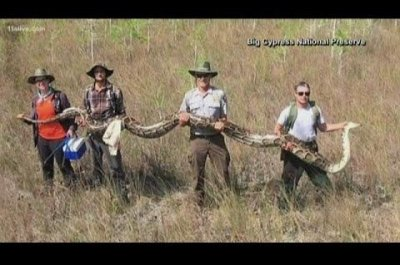 Florida researchers bag record 17-foot python