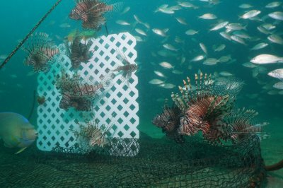 New research shows NOAA scientist built a better lionfish trap