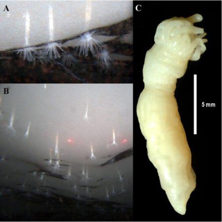 Scientists surprised to discover anemones living under antarctic ice
