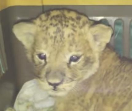 Ukrainian boarder guards find lion cub hidden among 2,245 parrots