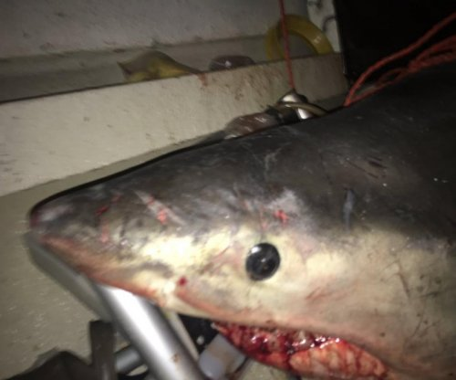 Great white shark jumps into Australian fisherman's boat