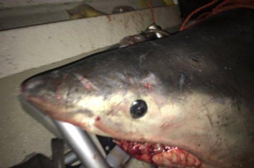 Great white shark jumps into Australian fisherman's boat