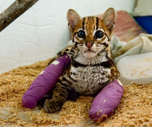 Margay cat gets implanted plates, purple casts to save injured legs