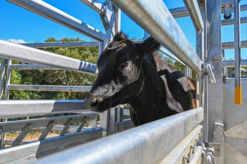 Steer on the loose after high school escape in Australia
