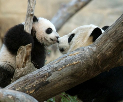National Zoo's giant panda Mei Xiang gives birth to twin cubs