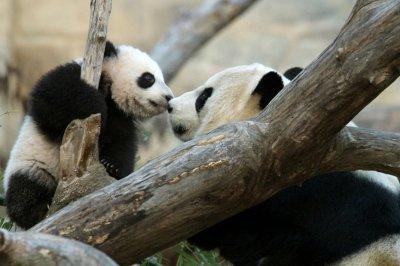 National Zoo's giant panda Mei Xiang gives birth to twin cubs