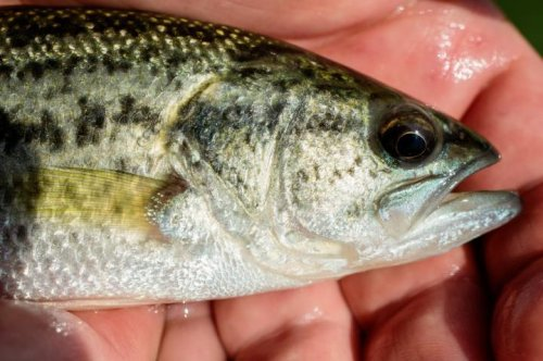 Fish stress hormones linked to tendency to take the bait