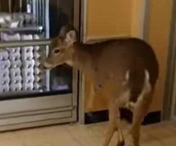 Calm deer browses the bargains at Pennsylvania grocery store