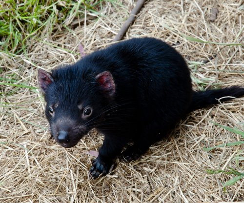 Natural antibodies may thwart Tasmanian devil cancer