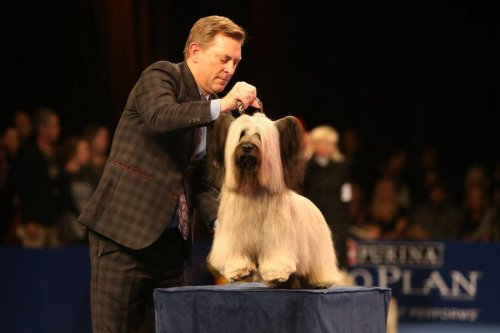 Skye Terrier Charlie wins Best in Show at the National Dog Show in Philadelphia