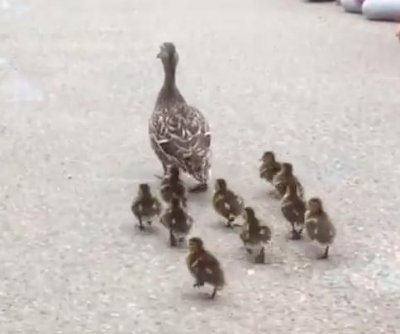 Ducklings parade through Massachusetts elementary school