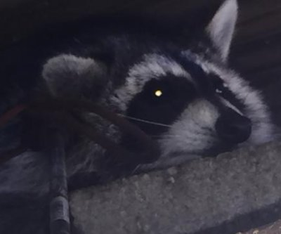 Michigan police remove hunting arrow from base of raccoon's ear