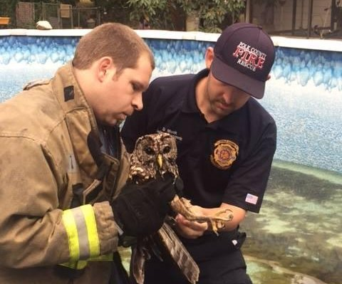 Florida firefighters rescue injured owl from pool