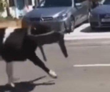 Wandering cows stampede through streets of Welsh town