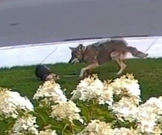 Yorkie protects 10-year-old Toronto girl from an attacking coyote