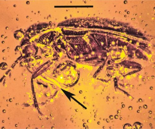 Beetles pollinated orchids some 20 million years ago