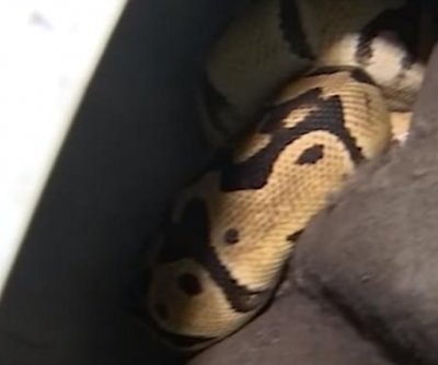 TV reporter helps pull python from Florida man's wheel well