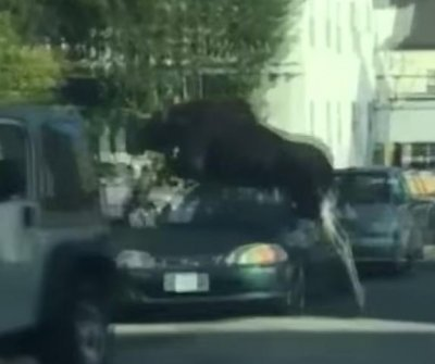 Loose moose leaps over cars in New Hampshire