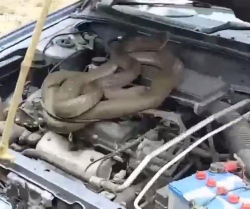 Noise coming from car engine turns out to be king cobra
