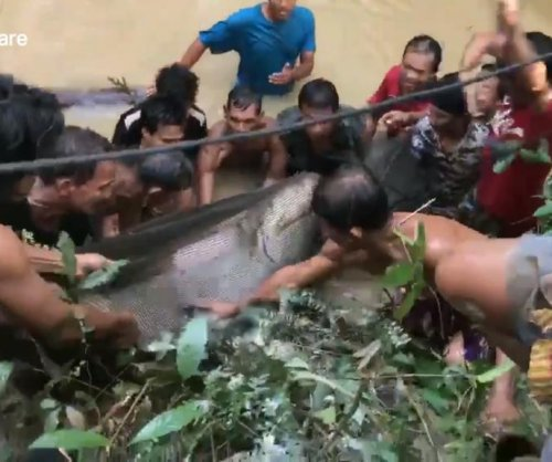Villagers rescue massive 450-pound catfish stranded in swamp