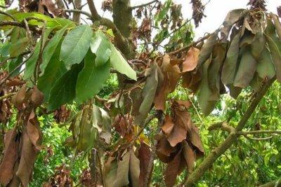 Florida growers predict bigger avocado crop while battling fungal disease