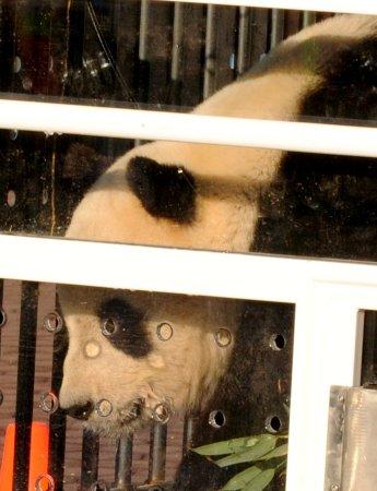 China to help with U.S. panda mating