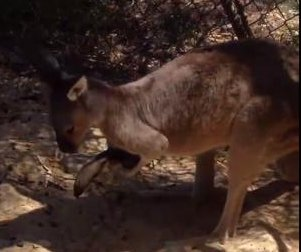 Kangaroo catches pesky pigeon for a quick hug