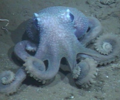 The deeper octopuses dive, the more warts they grow