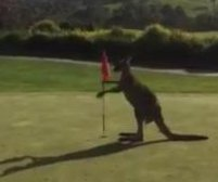 Kangaroo takes on flags at Australian golf course