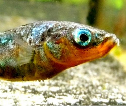 Parasite-infected fish can put healthy school members at risk