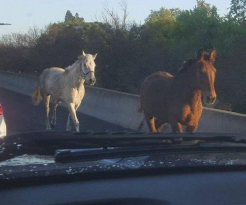 Escaped horses run wild on California highway during morning rush