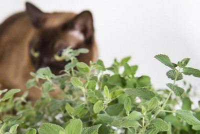 Study shows how catnip synthesizes chemical that drives cats wild