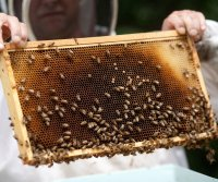 Common pesticides disrupt the sleep of bees, flies