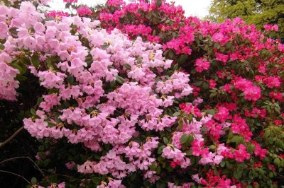Irish politician wants to call in army to combat 'aggressive' rhododendrons