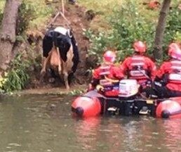 Firefighters fish stranded cow out of river in England