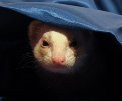 Escaped pet ferret climbs into bed with surprised stranger