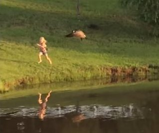 Texas goose turns the tables on young girl