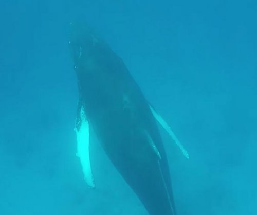 Humpback whales filmed up close in Turks and Caicos