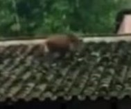 Boar running through neighborhood falls off roof