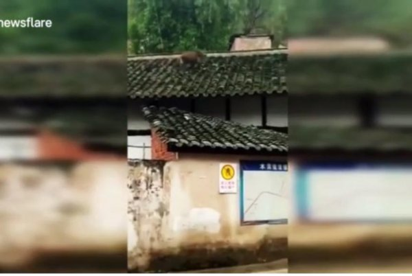Watch Wild Boar Falls Off House Roof In Chinese City