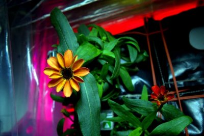 NASA shows off first flower grown in space