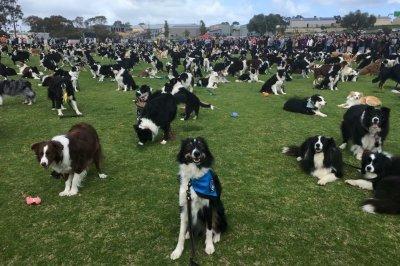 534 border collies gather to break world record in Australia
