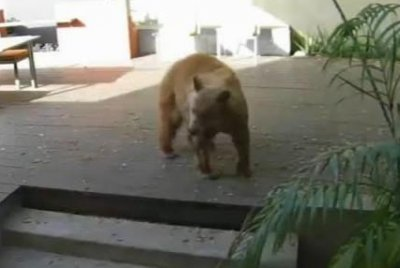 Small dogs chase trespassing bear out of California home