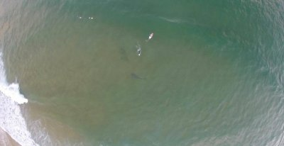 Great white shark circling surfers photographed by drone