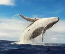 Snorkelers capture footage of 'jaw dropping' humpback breach