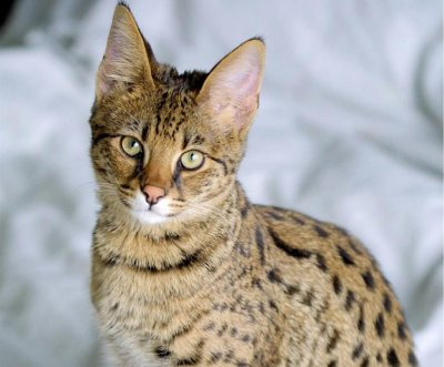 Owner searching for escaped exotic cat in Oklahoma