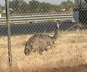 Emu caught running loose on California highway
