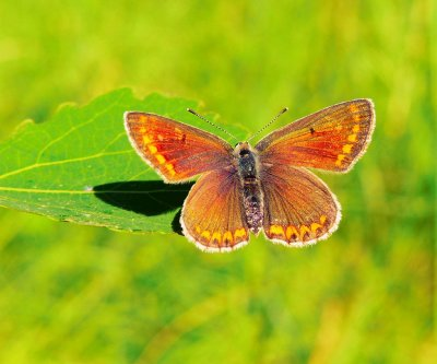 Spots of shade may help butterflies cope with climate change