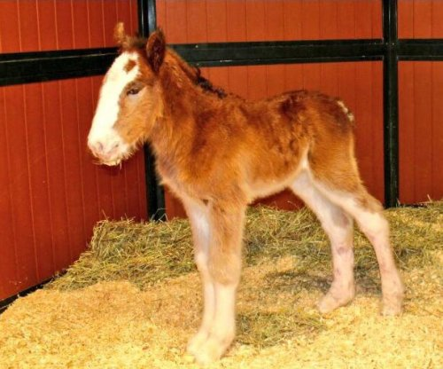 Meet Mac, the first Budweiser Clydesdale born in 2016